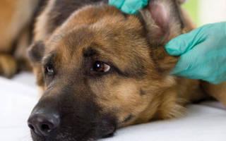 Симптомы и лечение аденовирусных инфекций у собак. Обычный кашель грозит инфекцией аденовируса у собаки