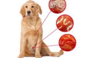 У щенка ротвейлера глисты симптомы и лечение. Причины и симптомы. Глисты и их особенности у собак