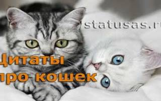 Мудрые цитаты про кошек. Цитаты и афоризмы про кошек