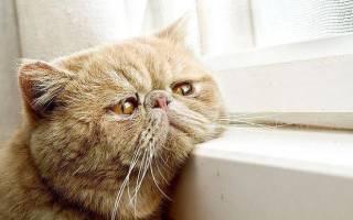 Болеют ли кошки гепатитом с. Симптомы и лечение гепатита у кошек. Гепатит у кошки: этиология и патогенез
