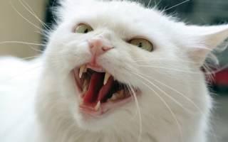 Фелиноз (болезнь кошачьей царапины): симптомы, диагностика. Лечение. Что делать, если у ребенка болезнь кошачьей царапины