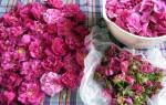 Лепестки розы: применение в домашних условиях. Лепестки роз — секреты и интересные способы применения в косметологии