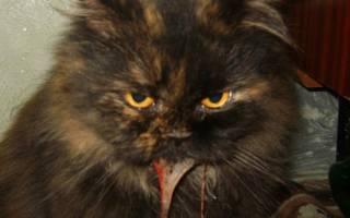 Вирусный гепатит у кошек. Лечение гепатита у кошек. Неспецифические признаки болезни