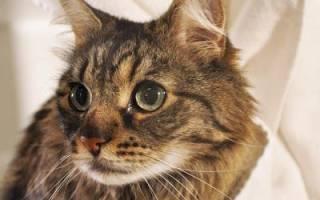 Струвиты у кошек. Мочекаменная болезнь у кошек: лечение, признаки, симптомы, диета, препараты, лечебный корм