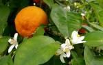 Духи со вкусом цитрусовых цветов. Цитрусовые ароматы – оптимистичная парфюмерия