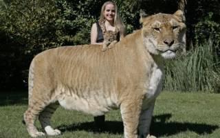 Кто самый крупный из семейства кошачьих. Дикие кошки