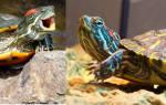 Что делать если сух черепашка не ест. Видео: Почему не ест? Как помочь питомцу