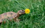 Почему черепаха спит и ничего не ест. Красноухие черепахи не едят: что делать если черепаха не ест и мало двигается